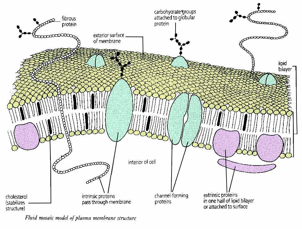 fluid mosaic model of plasma membrane All cells are surrounded by a plasma membrane  describe the fluid mosaic model of membrane  membrane envelops small particles or fluid,.