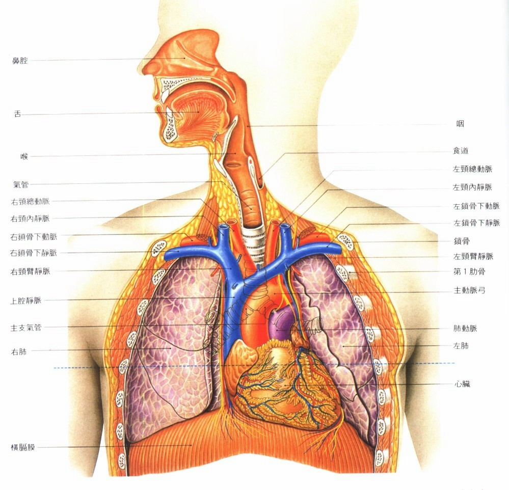 Urogenital System in addition L Reproductive System Female Front View Of The Female Reproductive System Anatomy Organ further C edec besides Elk heart x3 moreover Major Organs Involved In Respiratory System. on respitory system